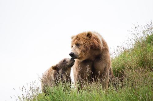 kodiak-brown-bears-1627417_640